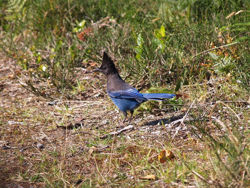 A Steller Jay - the provincial bird of British Columbia