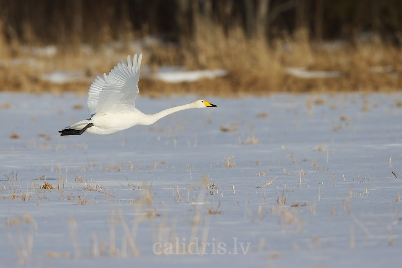 Whooper Swan flies over snow covered field