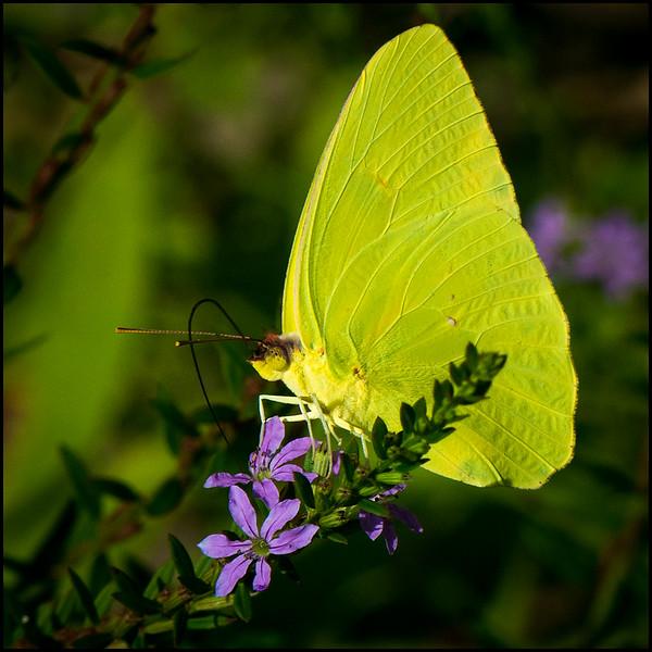 Cloudless Yellow Butterfly 1.jpg