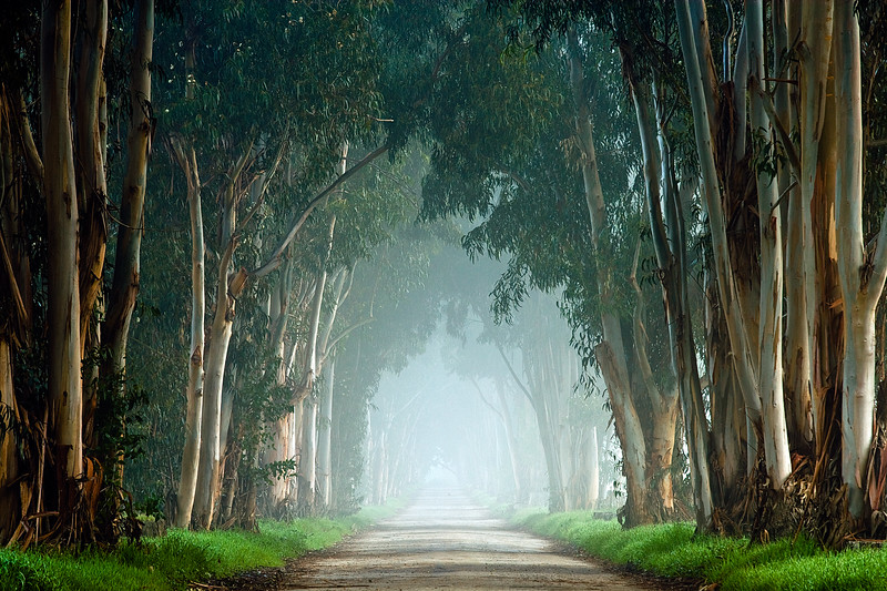 Eucalyptus Tunnel