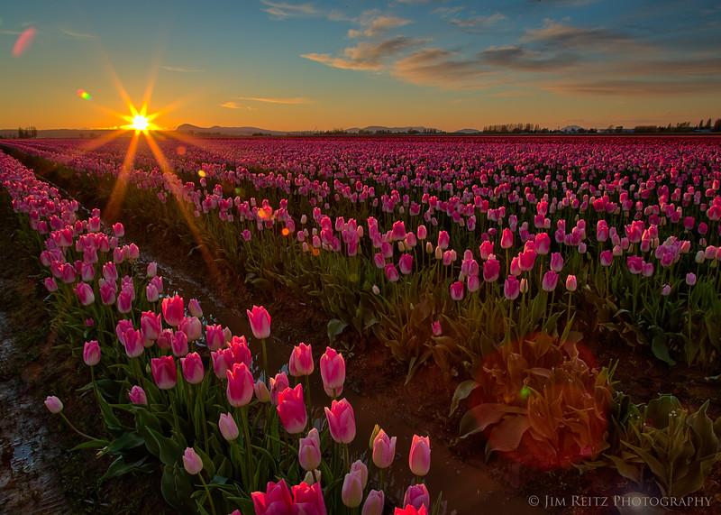 Sunset - Skagit Valley Tulip Festival