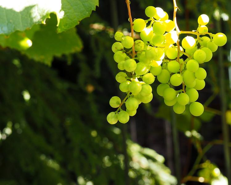 Garden grapes.JPG