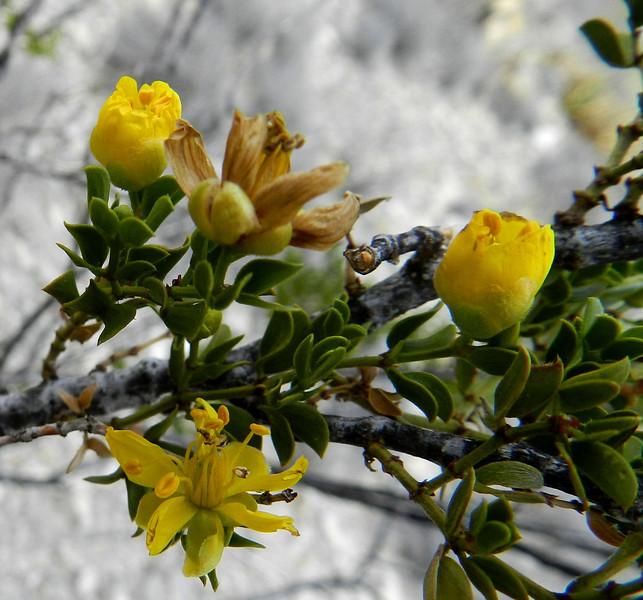 Creasote flower2.jpg