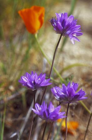 Flowers - Blue, Lavender, Purple