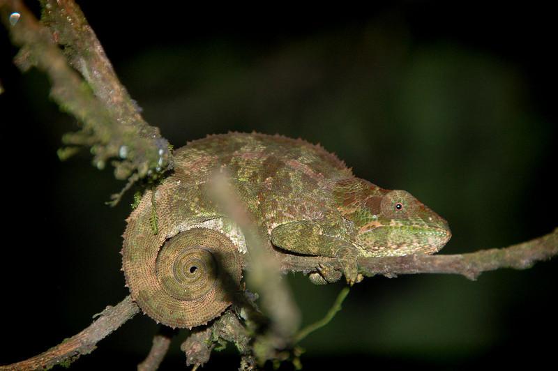 Madagascar, Fauna & Flora 18 Oda.jpg