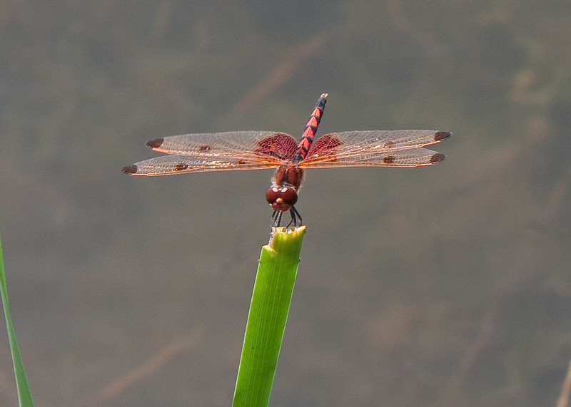 Dragon fly-11.jpg