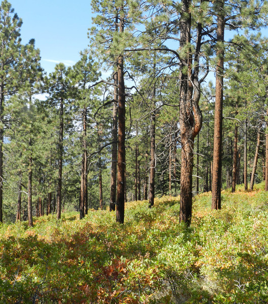 Pines and under growth4.jpg