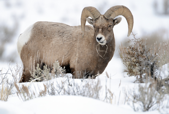 . A big horn sheep finds grass to eat in Yellowstone. PHOTO: Will Lester