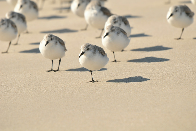 DSC_5996_sanderlings_at_breezy_point_lg.jpg