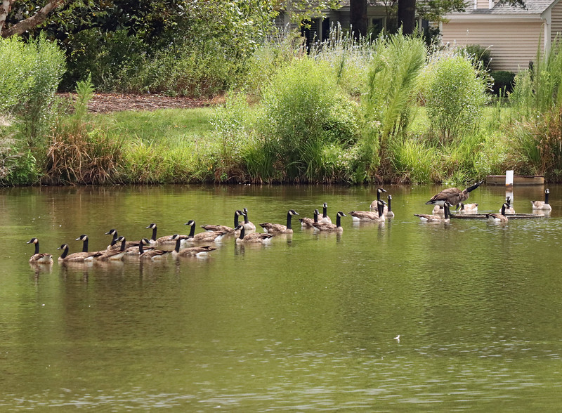 26 geese all in a row