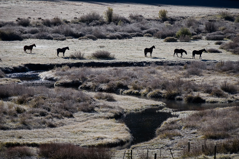 Five Horses in Frost
