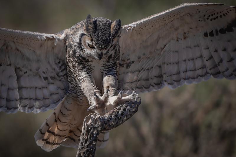 Great Horned Owl landing