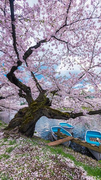 Hirosaki Tree and Boats_Mobile HD