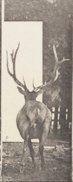 Elk galloping, irregular