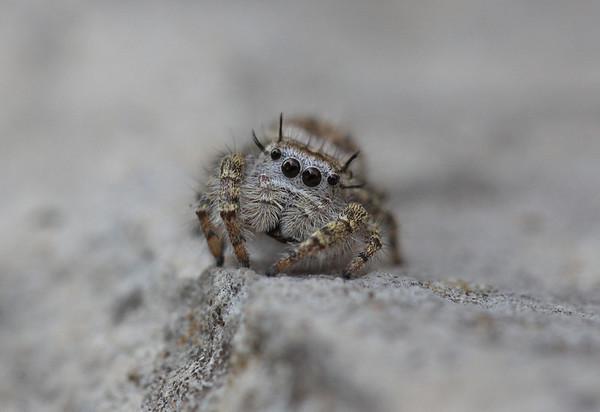 Spider Wasps (Pompilidae)