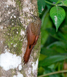 Black-banded Woodcreeper