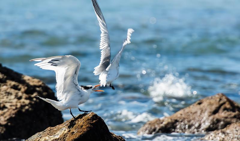 royal tern1.jpg