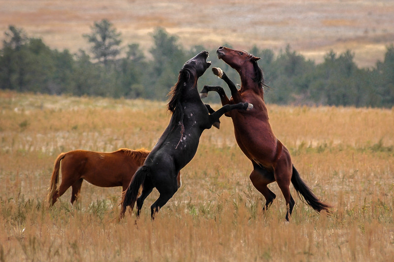 Wild Horses Fighting  #3