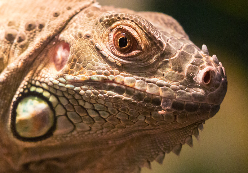 The Museum is also home to this lovely Iguana.