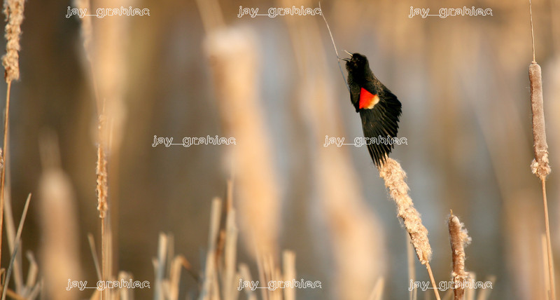 A male Red-winged blackbird is seen calling for a mate while perched on a cattail on a pond near Lake Paradise in Mattoon, Illinois on Monday, March 16, 2009. (Jay Grabiec)