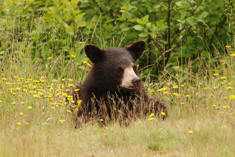 Ours noir d'Amérique