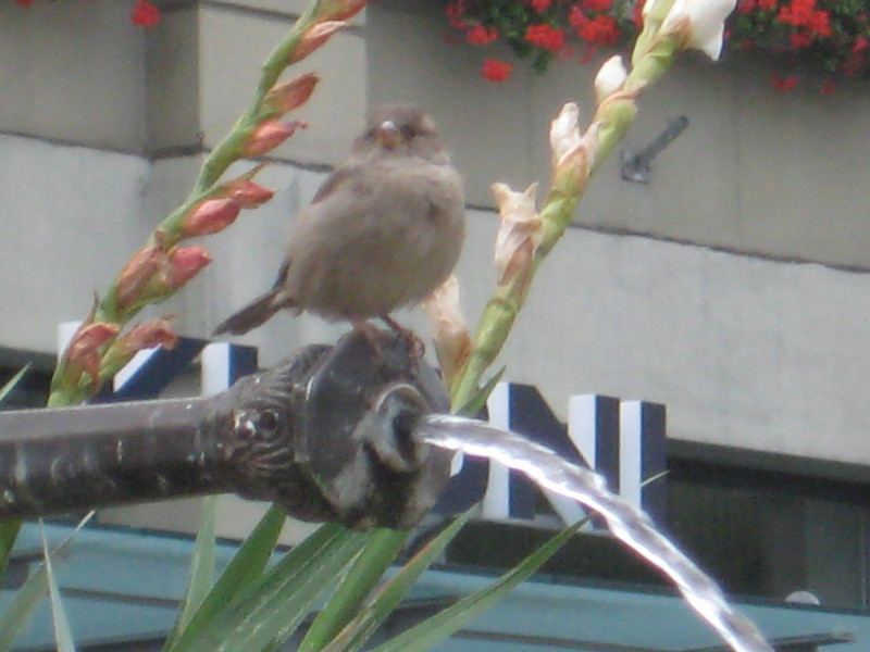 sparrow_2.jpg