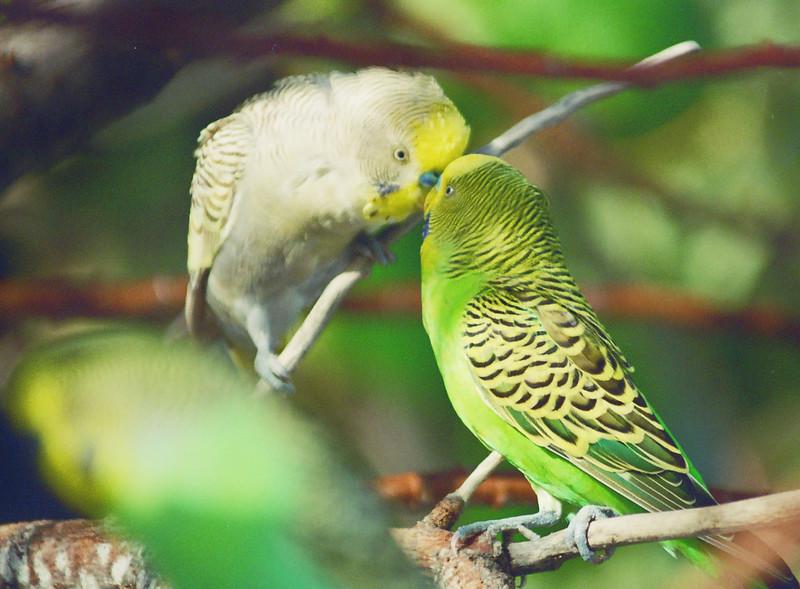 Love birds Maldives, June 2004.jpg
