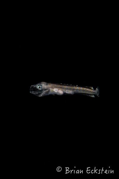 Juvenile Dolphinfish (Mahi-Mahi)