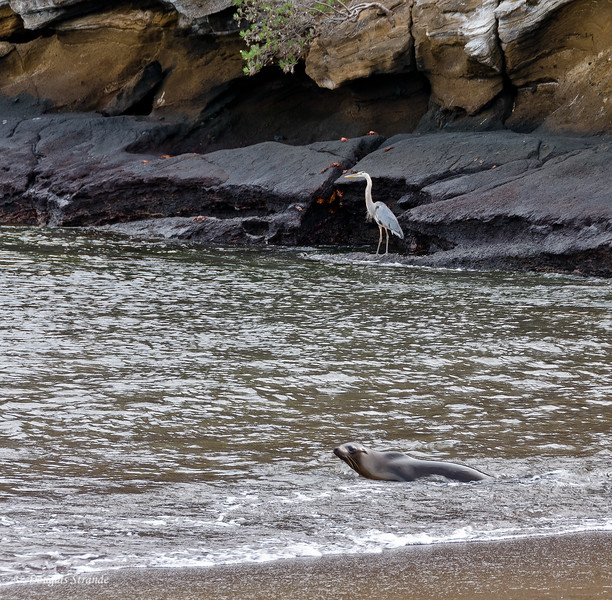 Sea Lion and a Great Blue Heron at Cormorant Point, Floreana Island