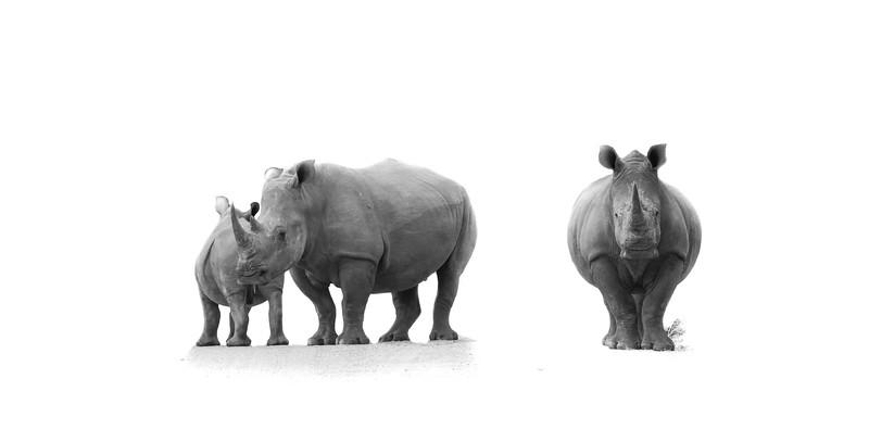White Rhino Canvas