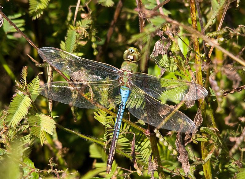 green darner male