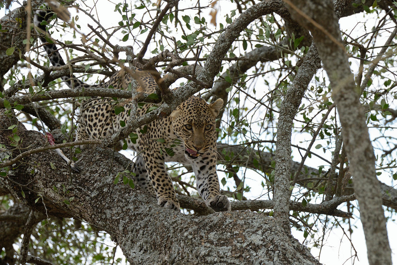 Leopard-stretch-after-a-filling-meal.jpg