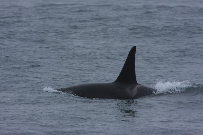 Orcas000012.JPG