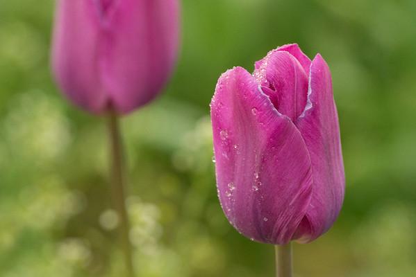Tulip Festival Wooden Shoe Oregon