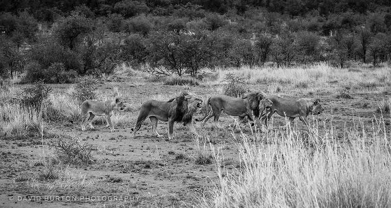Lions_blknwht_4888-2cc2fx2-crop-web.jpg