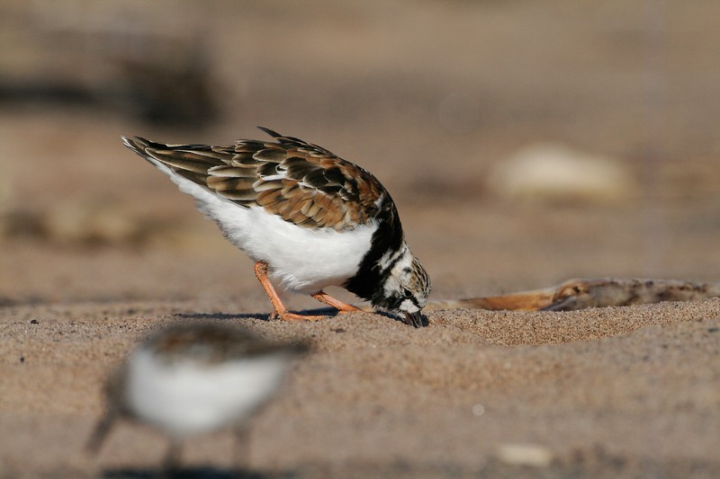 """Ruddy Turnstones could easily be called the """"Harlequin Turnstone"""" after their wonderful black and white face pattern [May; Park Point Duluth, Minnesota]"""