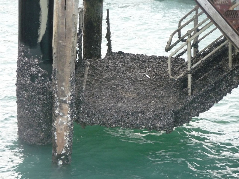 A closer look at the shells and stuff covering the lower parts of the pier. The tidal wave keeps these alive.