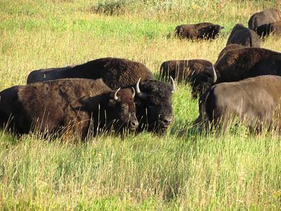 Bison Yellowstone 2011