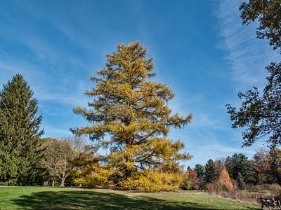 Deciduous conifers in fall