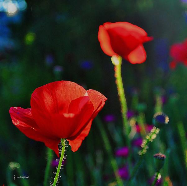 poppy red 2-2-2011.jpg