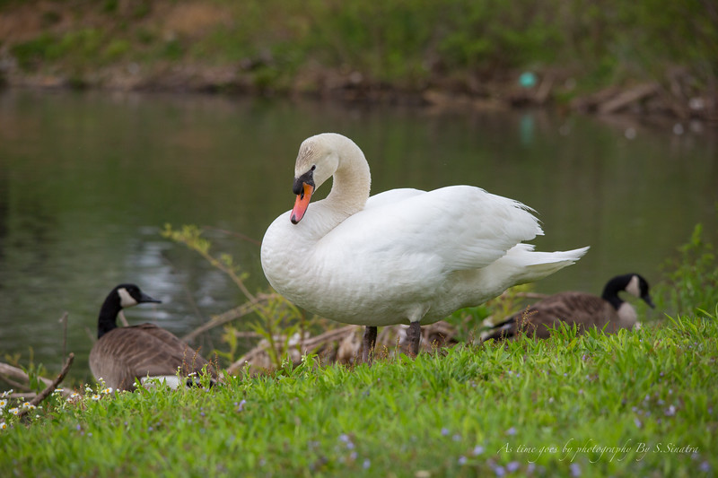 mute swan signed-17.JPG