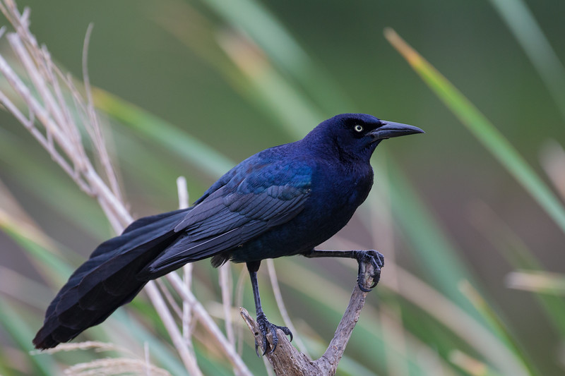 Great-tailed Grackle - Mission, TX, USA