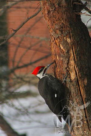 Pileated Woodpecker on a redbud tree.