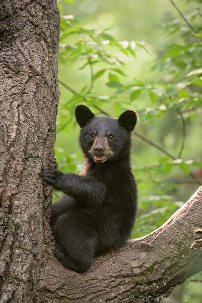 Minnesota Black Bears