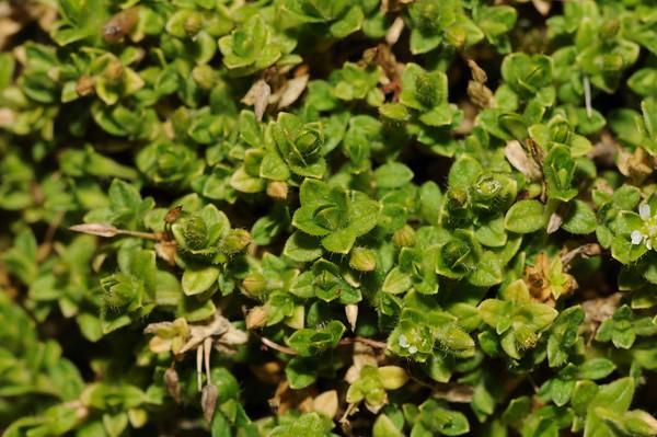 Caryophyllaceae