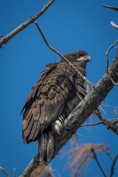 First Year Bald Eagle