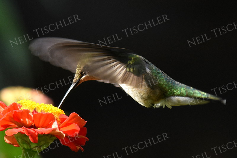 #1127  The iridescent feathers on the back of a A  ruby throated hummingbird are evident as it feeds at zinnia blossom.