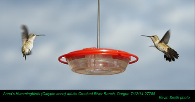 Anna's Hummingbirds A27785b.jpg