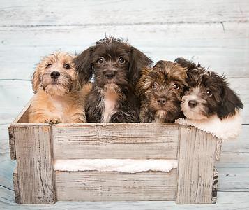 Beatles Puppies