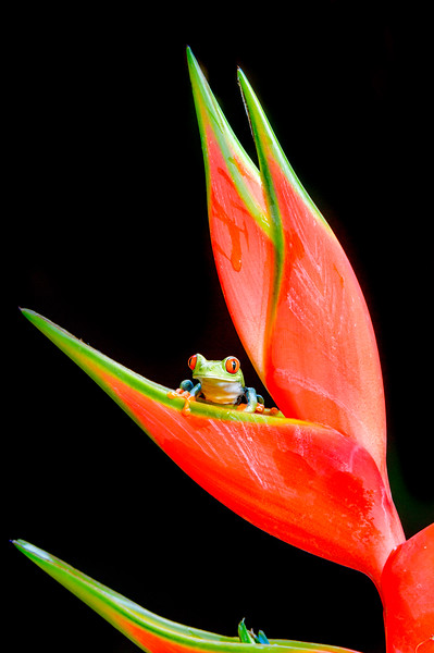 Red-eyed Treefrog on a red blossom
